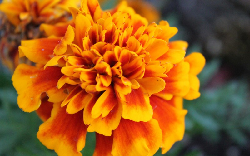 Marigold flower in bloom.
